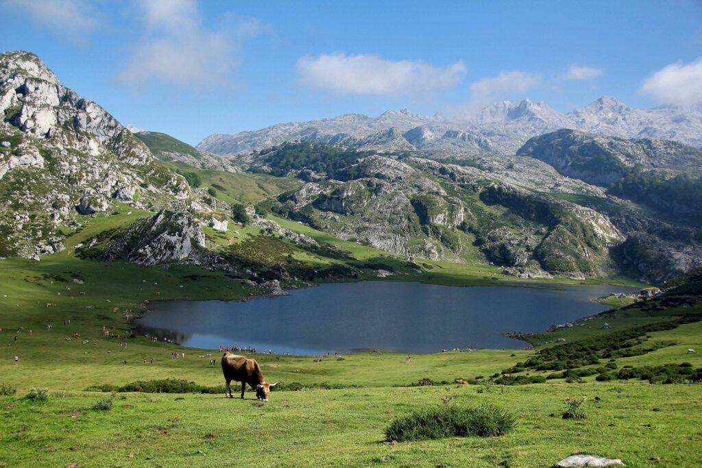 Una vaca en medio del parque nacional de los Picos de Europa